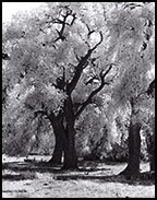 infrared image of trees