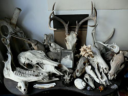 a large collection of animal bones and skulls